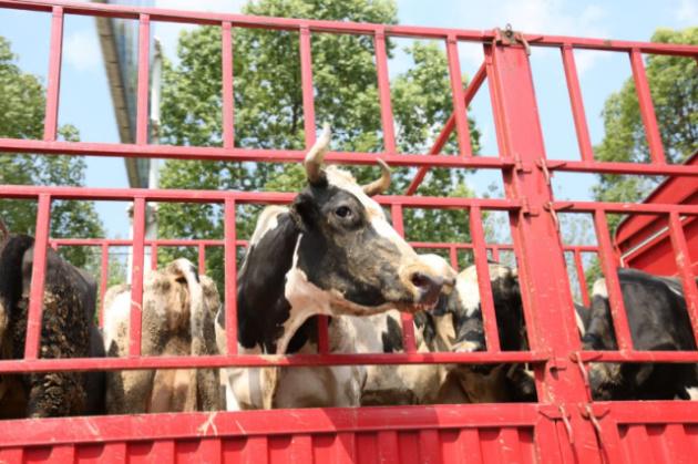 在马路上看到一大群牛,其中就这只伸头出来很显眼,为了给它拍张特写我