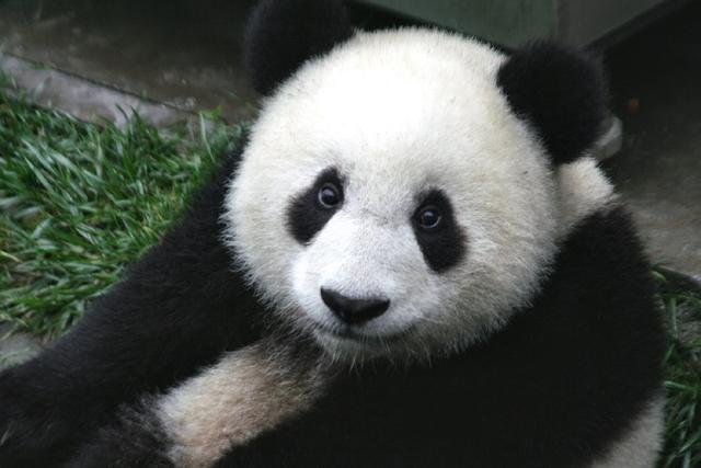 在成都,和可爱的大熊猫待在一起,看它们吃竹子,爬树,卖萌.