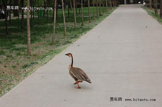 大家先后看到了绿头鸭,麋鹿,野马,鸿雁,孔雀等各类动物,参观了森林
