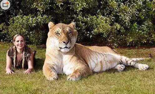 【世界之最】世界上最大的猫科动物