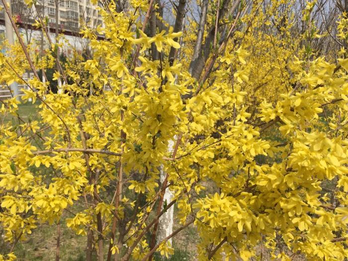 蟒头山梅花鹿 于 2015-04-09 11:48 发表在 4楼蟒头山梅花鹿 于 2015-04-09 11:45 发表在 1楼 前兩天去丽景花苑拍照,路过柳林桥,两边绿花带里的花儿开的非常漂亮! 真正的春天来了,大地上的每一个角落者充满了春天的气息.延安医学院 校园里,到处都是春光明媚的景象.柳树抽出了细细的柳丝,上面缀结着淡黄色的嫩叶;小草带着泥土的芳香钻了出来,一丛丛,一簇簇,又嫩又绿花儿也伸了伸懒腰,打了个哈欠,探出了小脑袋;小朋友们都脱掉了笨重的冬衣,换上了既轻便又鲜艳的春装;小鸟们从家里飞了出