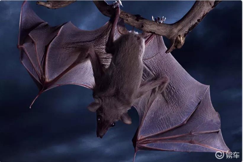 放过蝙蝠吧,它可不是用来吃的